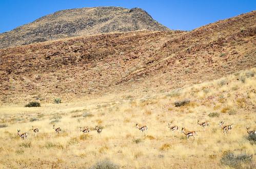 Springboks dans le désert de Namib, la Namibie
