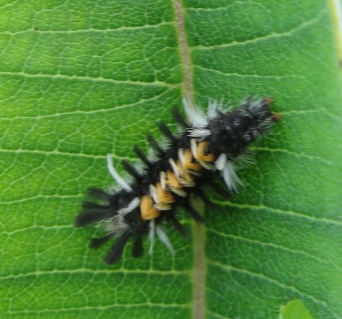 Milkweed tiger moth (Euchaetes egle), late-stage larva, Curtis Prairie, UW Arboretum