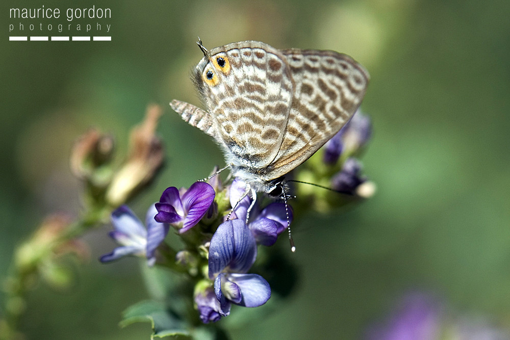 Lang's Short-tailed Blue1665
