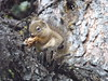 Douglas squirrel / Pine Squirrel / Chickaree (Tamiasciurus douglasii) near Peyto Lake, Banff National Park, Alberta, Canada