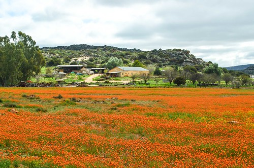 Orange flowers and cows on the Leliefontein plateau, South Africa