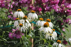 White Swan (Echinacea purpurea) - Gillies Lake Conservation Area - Timmins Ontario Canada