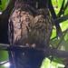 Mottled Owl by Jenn Sinasac