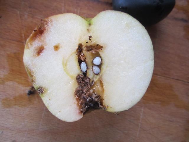 Apple bugs