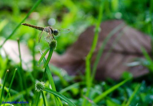 Chuồn chuồn mùa thu