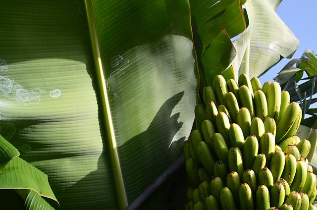 Bananas, Isla Baja, Tenerife