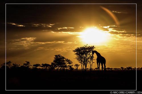 morning black silhouette yellow sunrise geotagged tanzania alba giallo mara giraffe nero giraffa mattina tza tanzania2014 geo:lat=248189897 geo:lon=3480902677