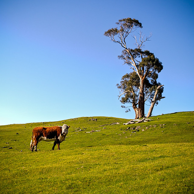 Cow and Tree on a Hill