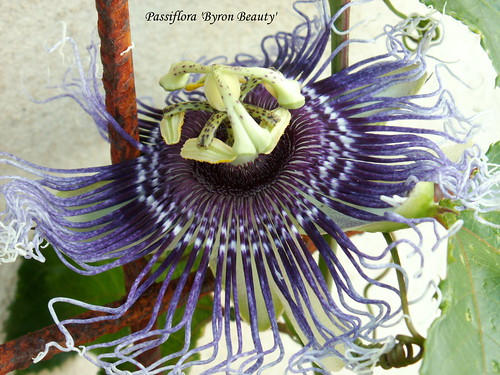 Passiflora 'Byron Beauty'