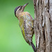 Streak-throated Woodpecker by V I J U