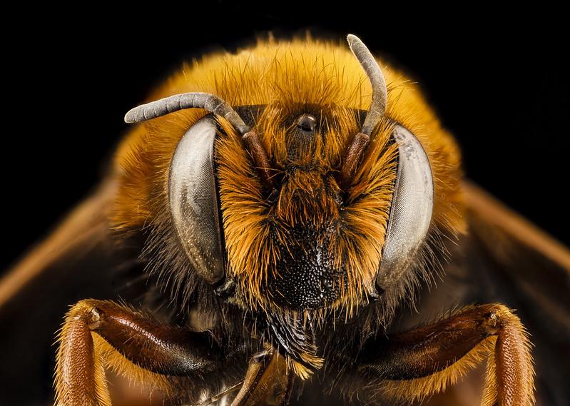Megachile Chalicodoma species, f, morocco, face_2014-08-14-12.48.40 ZS PMax