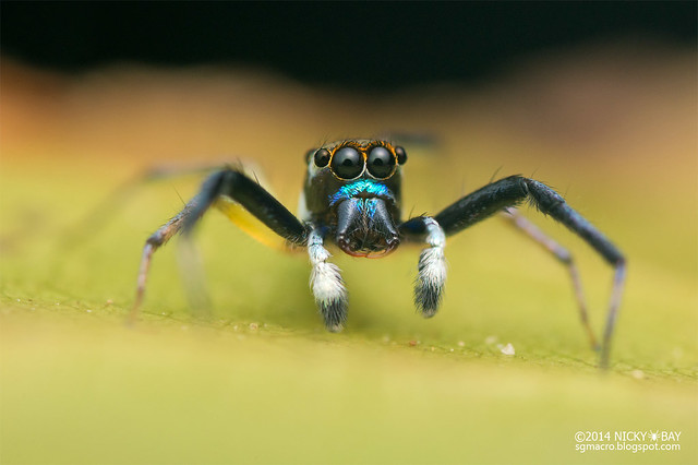 Jumping spider (Salticidae) - DSC_4037