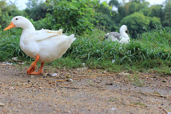 duck in west bengal