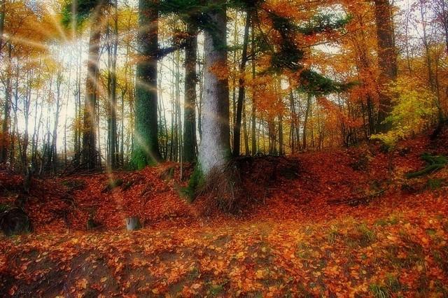 La forêt couleur ambre