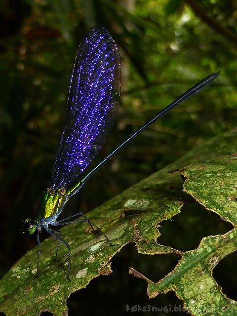 04 Bukit Serumbu Damselfly Vestalis amoena or Vestalis amaryllis