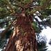 Giant redwood on Ralston Avenue in Belmont, CA