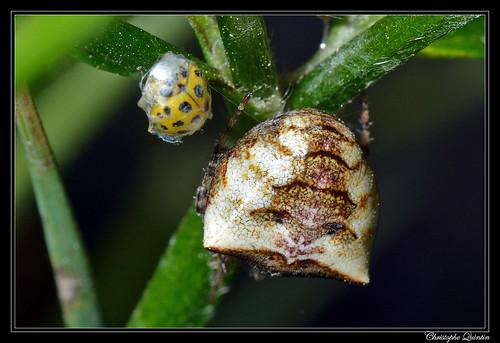 Gibbaranea bituberculata femelle