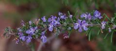 Rosmarinus officinalis, Noosa Botanic Garden, Cooroy, QLD, 14/02/14