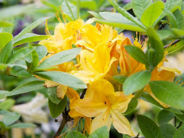 yellow rhododendron. Botanical garden. Lviv, Ukraine