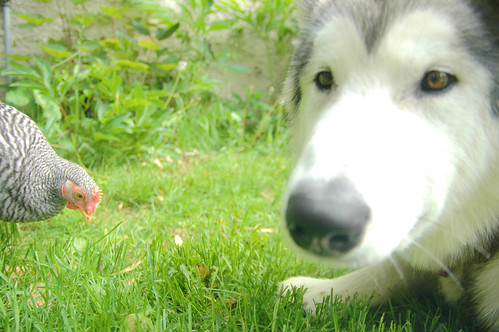 a malamute and chickens living in harmony? III.