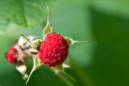 07-21-14 Thimbleberry