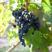 Orofino Photo of grapes
