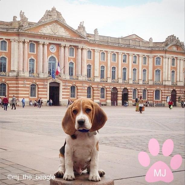 Mj Le Beagle Trop Mignon Qui Fait Craquer Les Internautes Culture Captendancemode Culture Gastronomie Voyage Sur Captendance