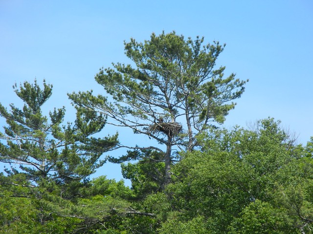 Bald eagle nest, Washington Island, Wisconsin