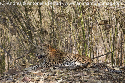 reefwondersdotnet posted a photo:Indian leopard Panthera pardus male, Tadoba-Andhari National Park, Maharashtra, India