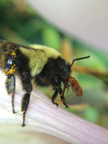 pennsylvania beetle bumblebee latrobe westmorelandcounty