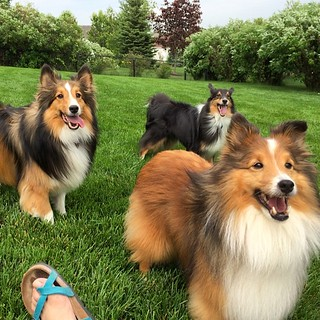 Buddy, Kolar and Tari vying for the ball. #sheltieplaydate