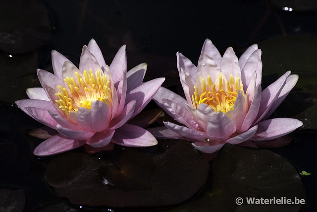 Waterlelie Pink Sensation / Nymphaea Pink Sensation