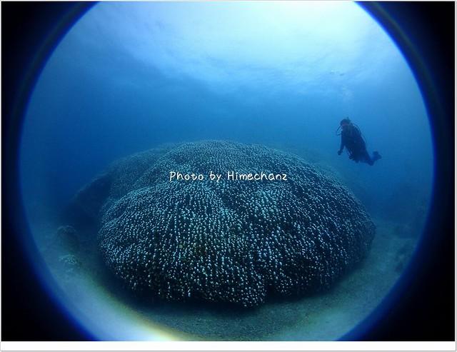 でかくてびっくり!巨大コモンシコサンゴ