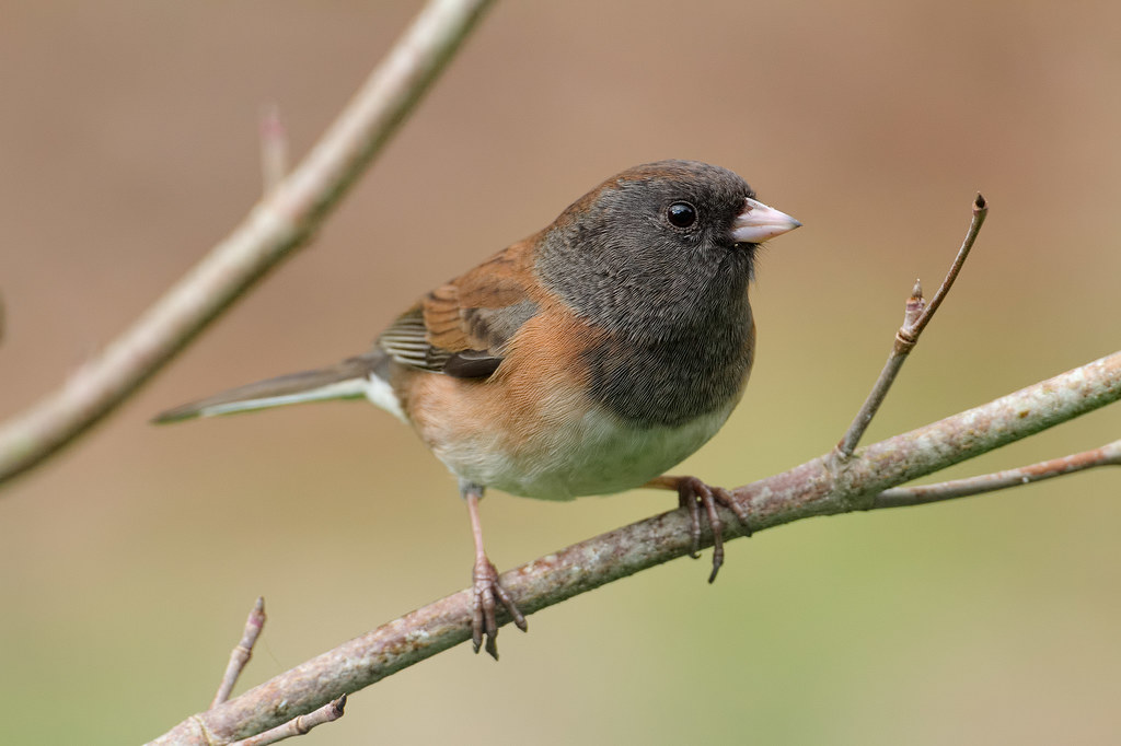 A female dark-eyed junco perches on our dogwood tree
