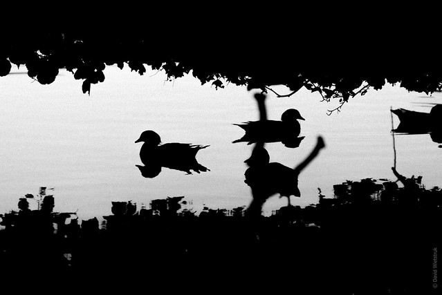 Project 365: #222 - Ducks and Shadows