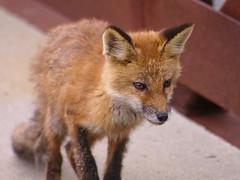 Approaching fox pup
