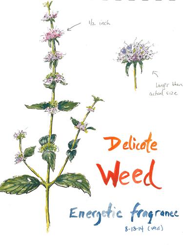 20140813_weed_sketch