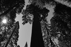 The Great Sequoia