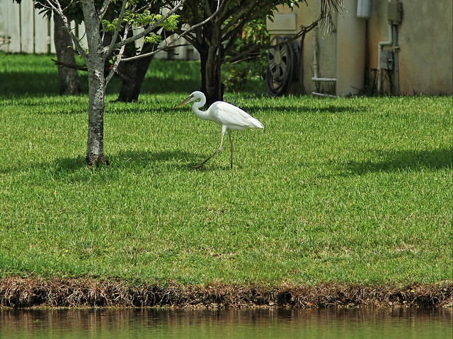 Great White Heron walking at 140 meters 20140818