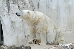Eisbärin Nika im Zoo Karlsruhe