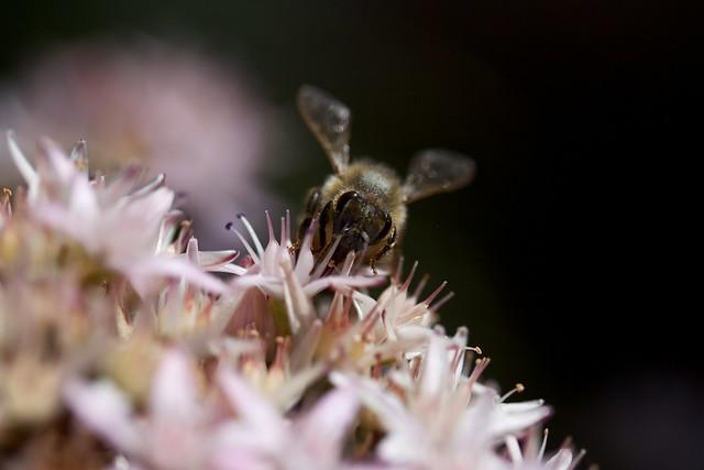 bee (macro)