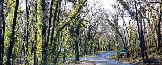 An image of a road winding through trees in the bush. Trees are black with contrasting green regrowth.