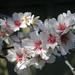 Almond Blossom by Chrissie2003