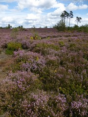 Thorsley Common in August