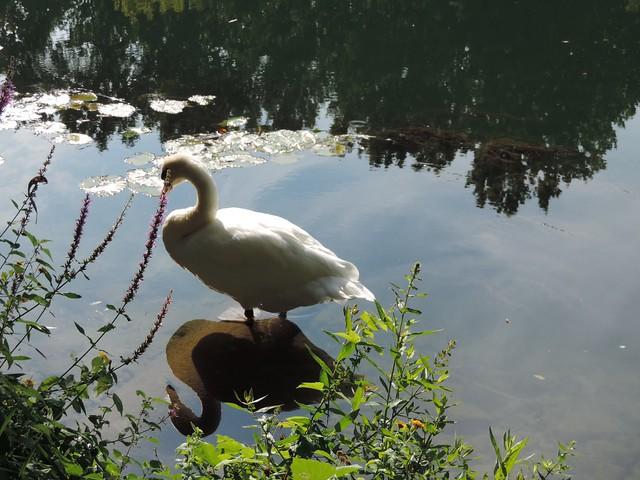 Swan reflecting