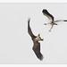 White-bellied Sea-Eagle ( Haliaeetus leucogaster ) by shivanayak