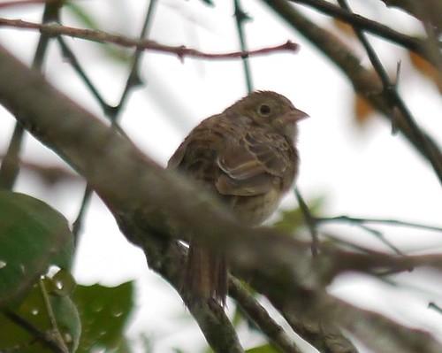 Cassin's Sparrow - 6