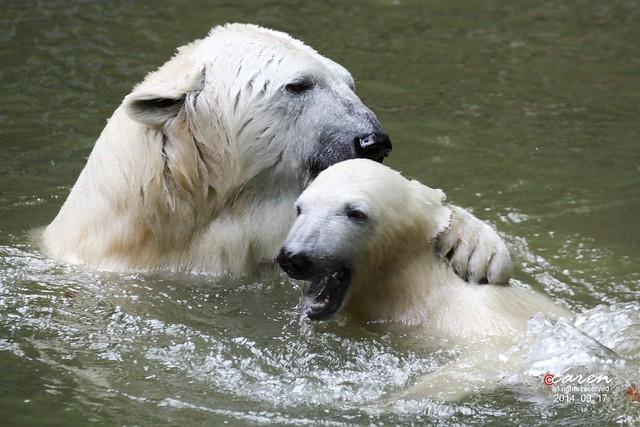 Eisbären Giovanna&Nobby 2014_09_17 041