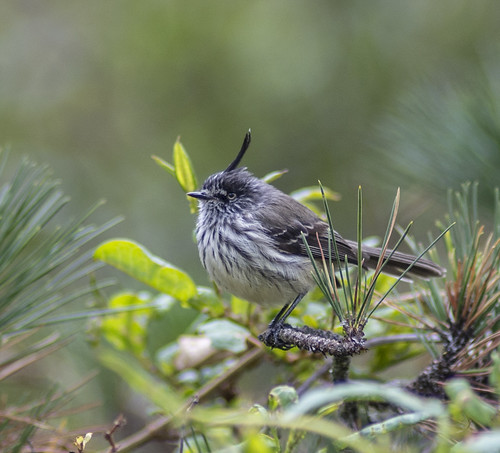 flycatchers tuftedtitbtyrant