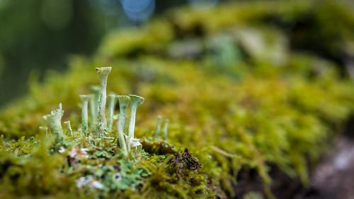 Small landscape, cladonia